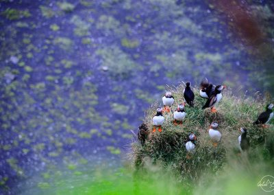 Puffins on the rock at dusk