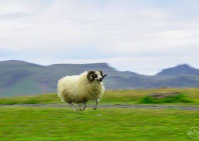Ram running looking like flying