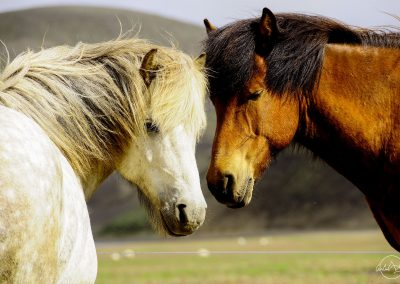 One white horse and one brown horse head to head looking at the camera