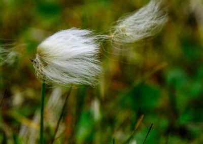 Portrait of a small and fluffy flower loosing its petals in the wind