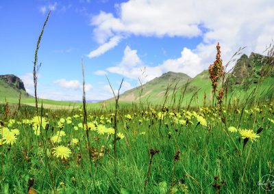 View from the ground of a field with yellow flowers and light green grass