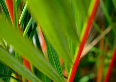 Close-up of large and very green leaves with red stalks