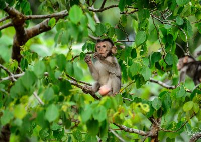 Baby macaque eating in the middle of green leaves