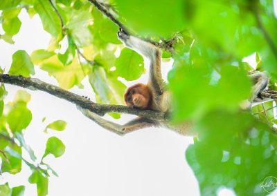 Female proboscis monkey lied on a branch