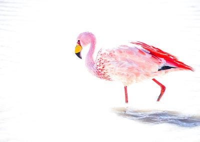Pink and red flamingo with white background