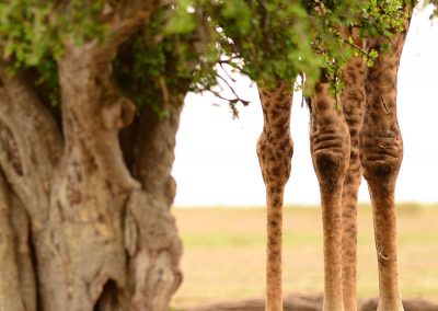 Legs of a giraffe next to a large tree in Kenya