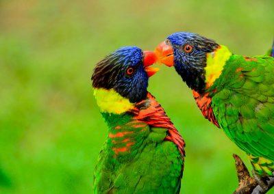 Two parakeet kissing