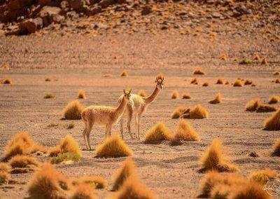 Two guanacos in desert with red sand