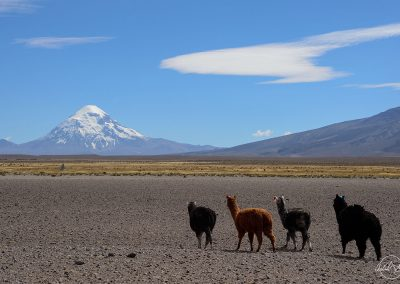 Four lamas are walking in a grey field and head toward a mountain covered by snow