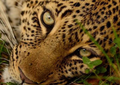 Close up of a leopard face with green eyes