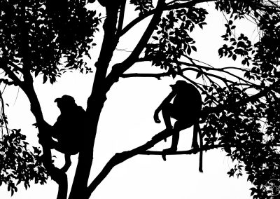 Silhouette of one female and one male proboscis monkeys, sitting in a tree