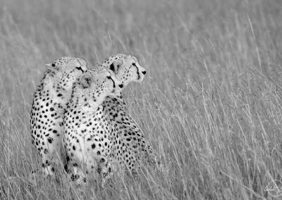 Three cheetahs in black and white seating together and turning their heads to the right