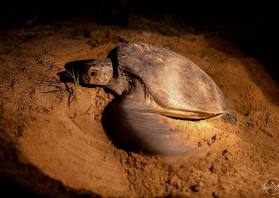 Turtle laying eggs in the sand in the night