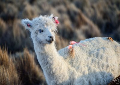 White lama with blue eyes in the countryside