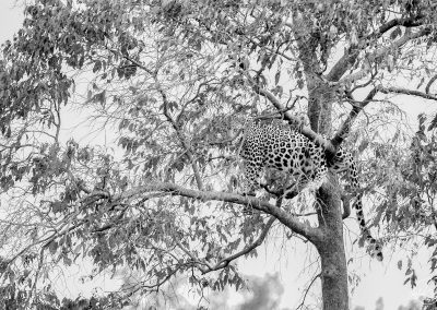 Black and white portrait of a leopard standing in a tree full of leaves