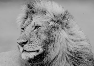 Black and white portrait of a male lion