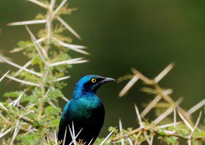Portrait of a starling blue bird in a tree
