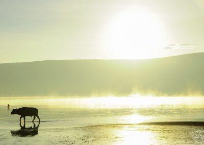 Buffalo walking in a lake in the backlight of sunrise