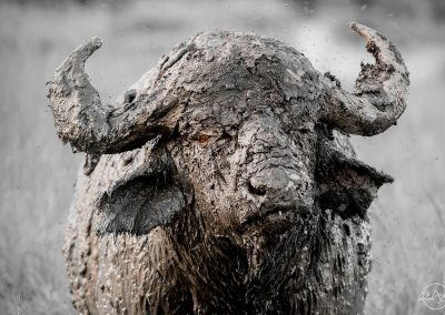 buffalo portrait fully covered by mud with one red eye opened