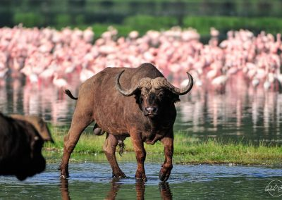 Buffalo feet in the water with group of flamingos in the background