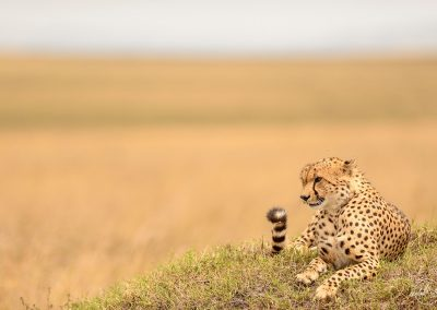 Cheetah laying and resting on a low mound in the yellow savannah