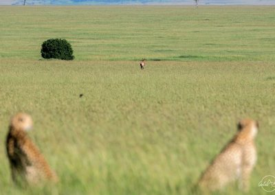 Two cheetahs in the foreground looking at a far away prey standing in the middle of the background