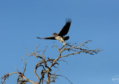 Eagle spreading its wings and taking off from a tree