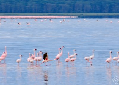 Flamingo running in the lake before taking off