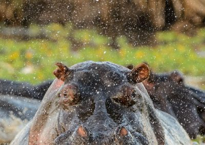 Hippopotamus facing the camera and getting out of the water