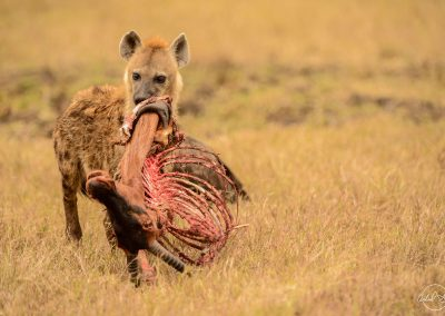 Hyena carrying a head of antelope after hunt