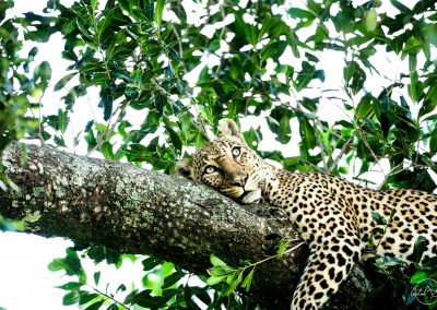 Leopard laying on a branch in a tree and with the eyes looking at something above