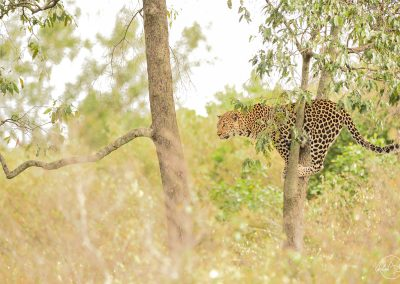 Leopard standing on a thin tree and getting ready to cross and reach another tree