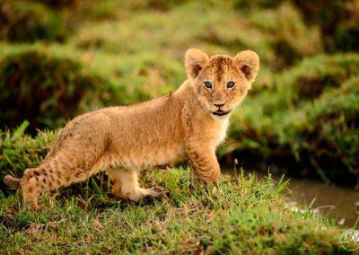 Lion cub portrait full body in green savannah