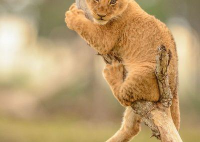 Lion cub stuck on a thin tree