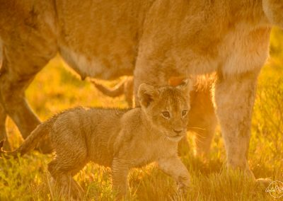 Young lion cub walking beneath his mother in a golden light