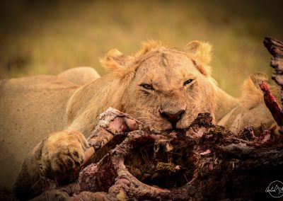 Portrait of a lion eating a carcass with face full of blood