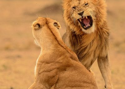 Lion and lioness fighthing after mating
