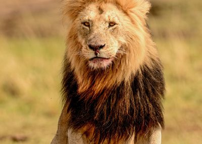 Male lion sitting with traces of blood on its mouth and paws