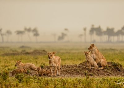Group of female lions and cubs on a low mound in the heavy rain