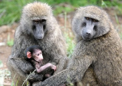 Two macaques taking care of a baby