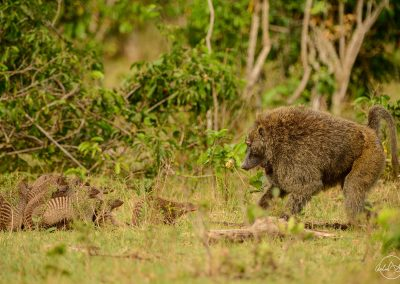 Group of mongooses facing a baboon, each side trying to intimidate the other ones