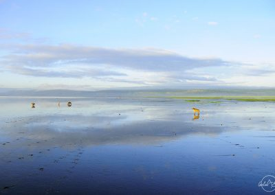 Nakuru lake landscape reflecting in the water with a couple of hyenas in the early morning light