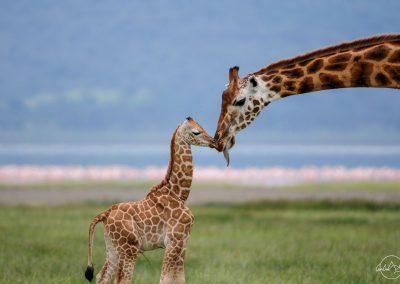 Giraffe nose to nose and kissing new born baby giraffe