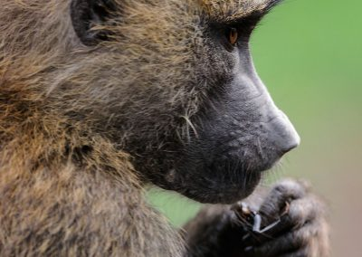 Side view portrait of a macaque with its left hand near its mouth