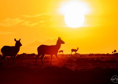 Silhouettes of two antelopes facing the rising sun