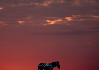 Silhouette of a zebra in the horizon at sunrise with red, pink and purple sky in the background