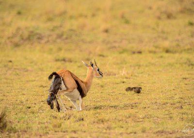 Thomson gazelle giving birth in the savannah
