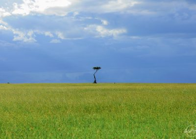 Thin tree alone at the horizon in the green savannah with a cloudy sky