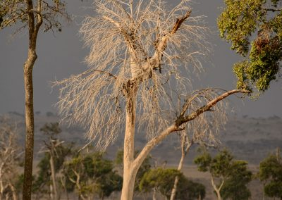 White thin tree without leaf in the savannah with stormy grey sky
