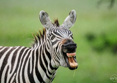 Portrait of a zebra opening its mouth as if it was laughing